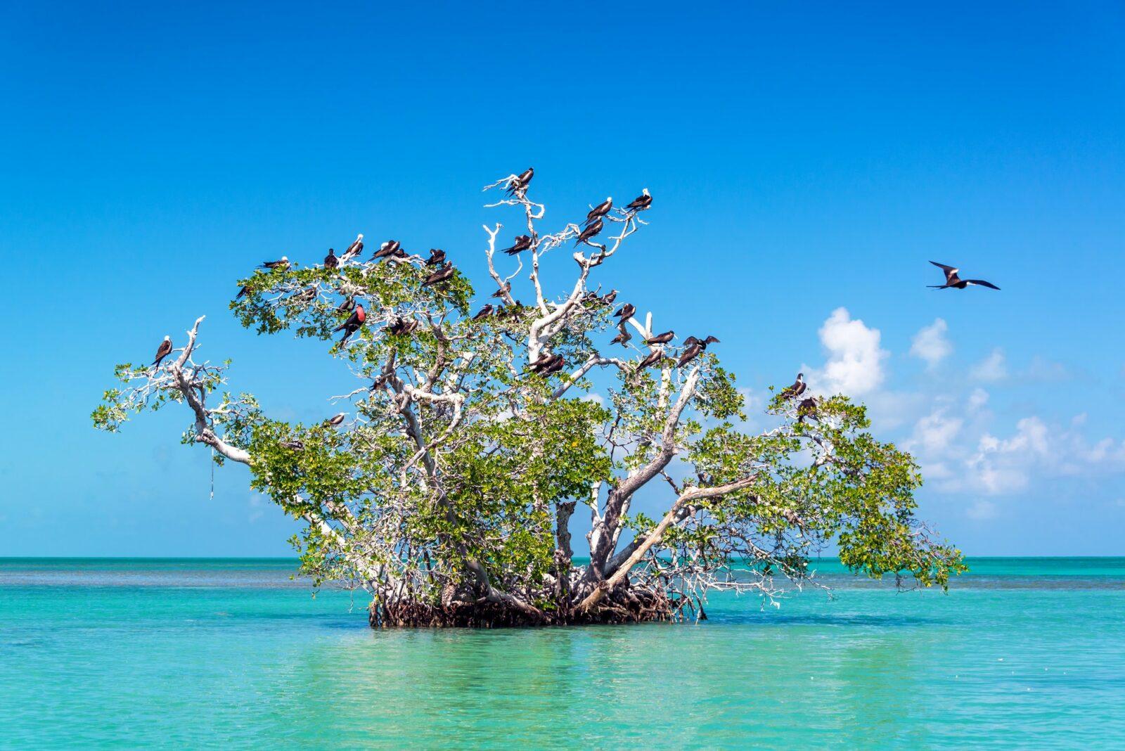 Mangrove Tree and Frigatebirds