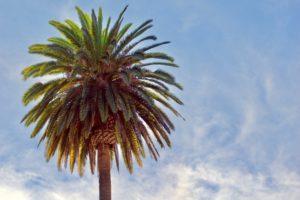 Giant, beautiful, tropical, Canary Island Date Palm tree growing in the San Diego California sun